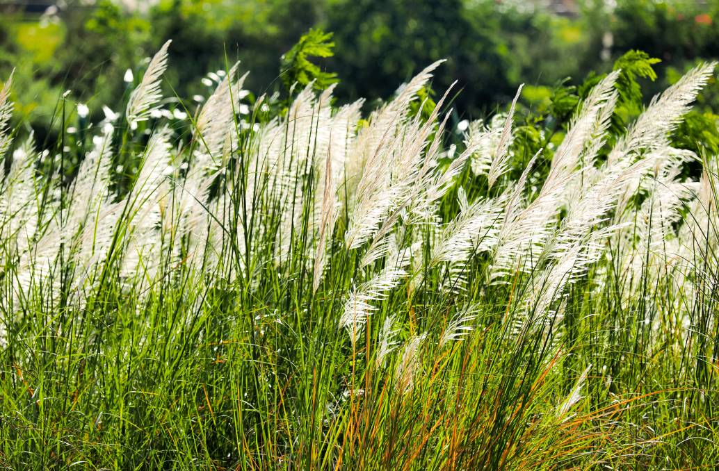 OVERRUN: Japanese silver grass can be invasive, gardeners should chose native over introduced plant species for the garden. Picture: Shutterstock
